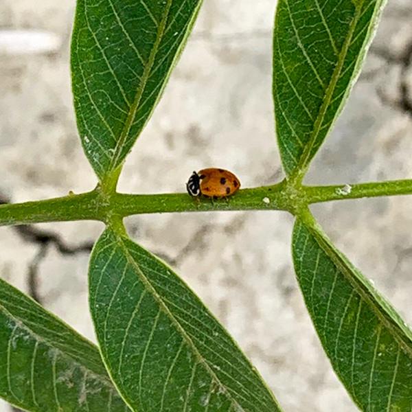 Biodiversità - coccinella - Il Noceto