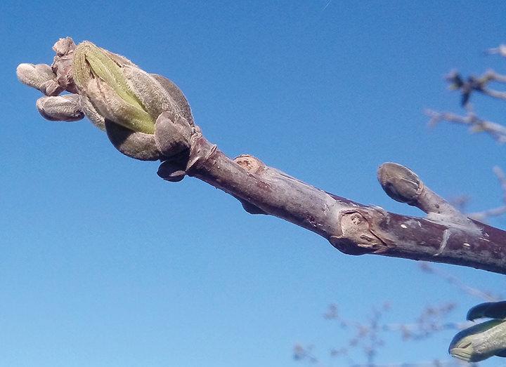 Schiusura della foglie durante la gemmazione - il noceto